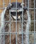 """Raccoon Incarceration,"" photo by Lara Gularte"